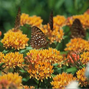 AsclepiasTuberosa_ButterflyWeed