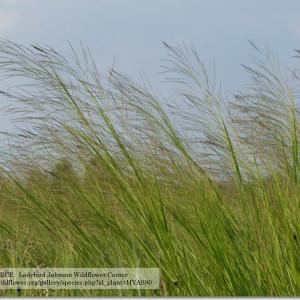 PanicumVirgatum_Switchgrass